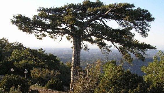 Cor Profund Montsant Pi Carabasseta