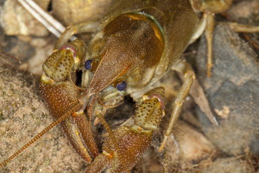 Helping the white-clawed crayfish in Prades Mountains