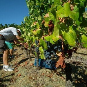 Grape harvest in Priorat