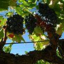 Ripe vines in Priorat