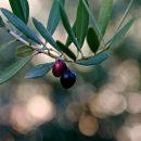 Organic olive trees in Montsant, Priorat
