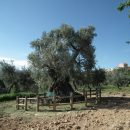 2000 year old olive tree, Els Ports